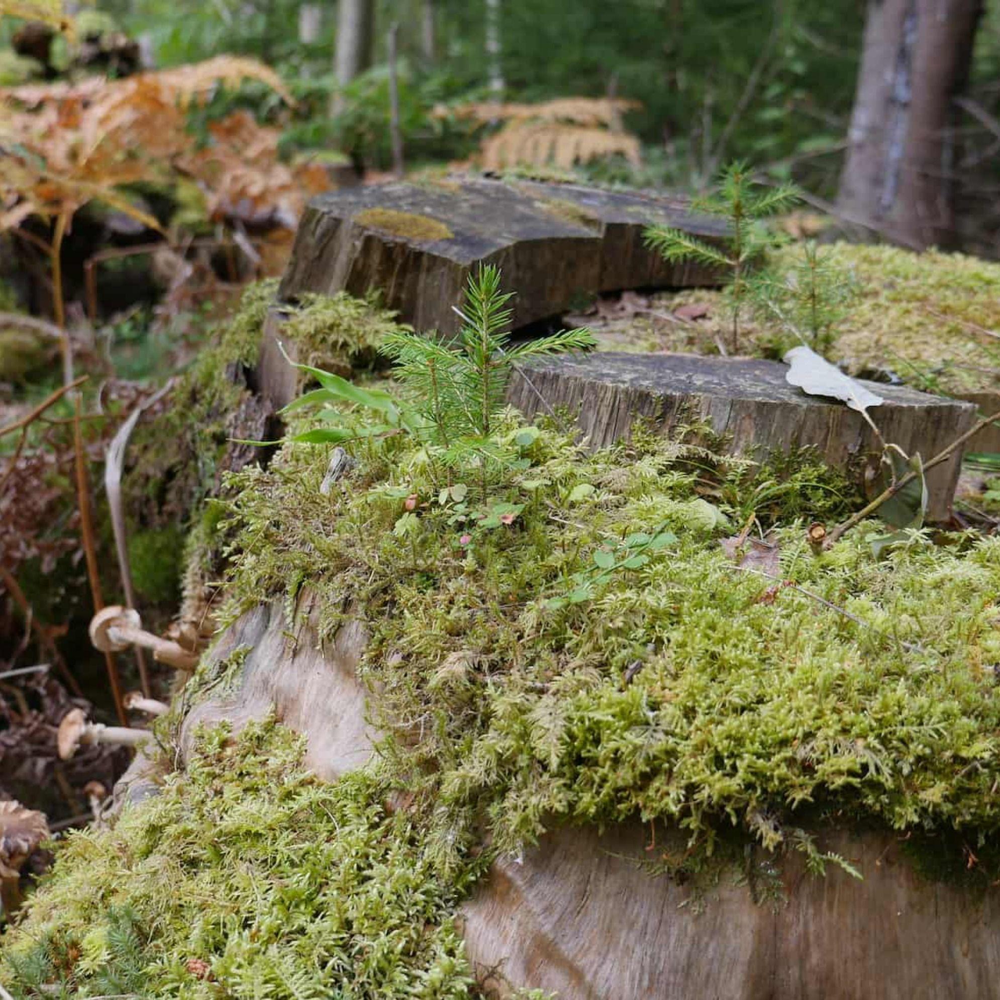 Skogsfredag, Avsnitt 79 - 200 biljoner kronor och svensk OSB någon?
